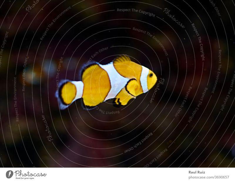 Im Meer schwimmende Clownfische clownesk Wasser Anziehungskraft Pool Ausflügler Ansicht U-Boot Urlaub Tank Freizeit Abtrennung Kuhschelle Aussehen Roséwein blau