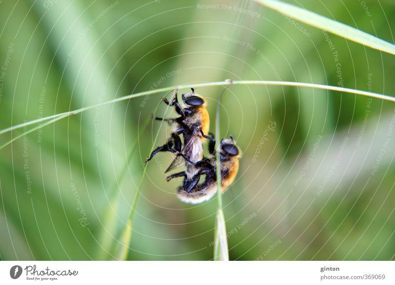 Kopulierende Schwebfliegen Tier Wildtier Fliege 2 Tierpaar hängen Liebe machen schaukeln sportlich nah wild braun grün orange schwarz Sex Sexualität Farbfoto
