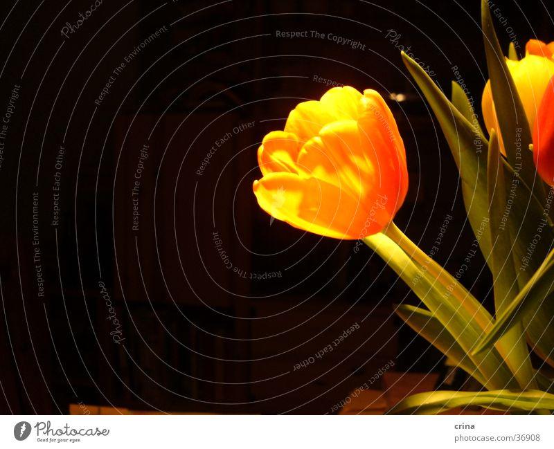 Portrait einer Tulpe2 grün schwarz dunkel orange Tulpe