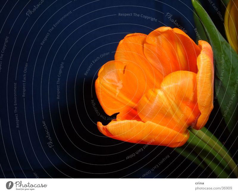 Portrait einer Tulpe1 grün Makroaufnahme Blüte orange blau Nahaufnahme