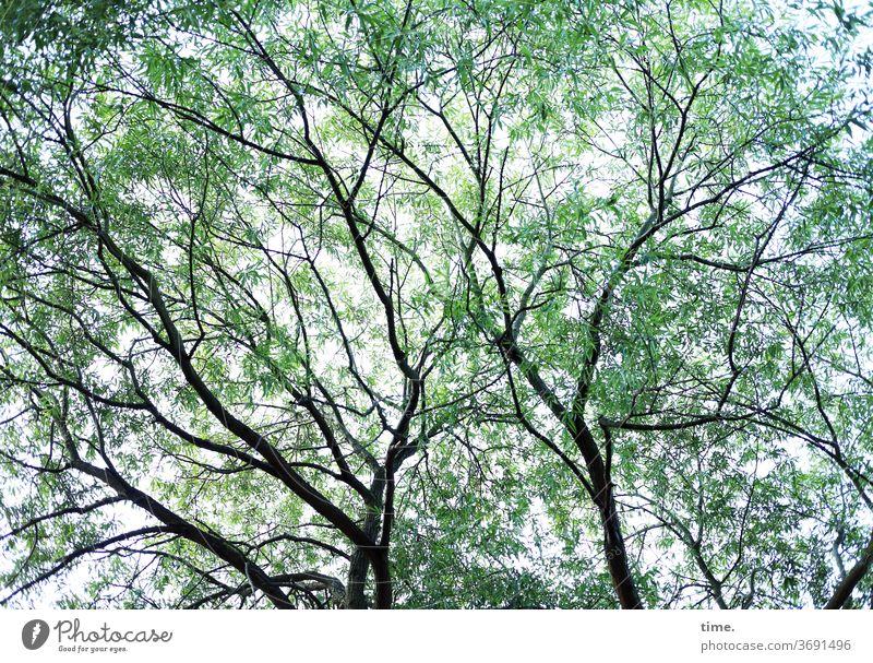 Sommerrausch baum äste hoch Perspektive Natur pflanze filigran himmel luftig inspiration leicht Silhouette Menschenleer Leichtigkeit Inspiration elegant Leben
