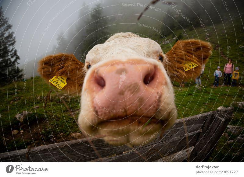 Distanzlose Kuh am Achensee Landwirtschaft Rind Wald Natur Naturschutzgebiet anstrengen Umwelt Mut Beginn Berge u. Gebirge wandern Farbfoto Textfreiraum rechts