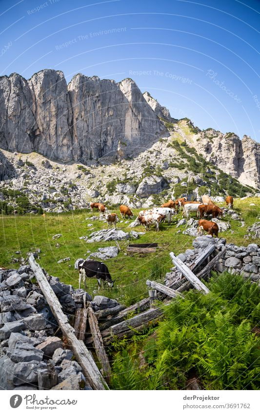 Kuhherde in Ruinen am Achensee Landwirtschaft Rind Wald Natur Naturschutzgebiet anstrengen Umwelt Mut Beginn Berge u. Gebirge wandern Farbfoto