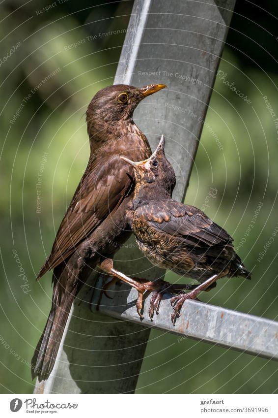 Junge Amsel sitzt auf Leiter und wird von Mutter mit Insekten gefüttert tier baby schnabel biodiversität amsel europäisch diät essen emotion umwelt