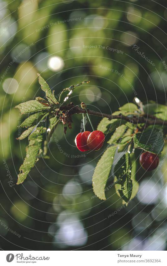 Kirschbaum im Sonnenlicht Kirsche Kirschen Sommer rot Ernte Natur frisch Frucht Garten lecker saftig Außenaufnahme organisch reif Farbfoto Jahreszeiten grün