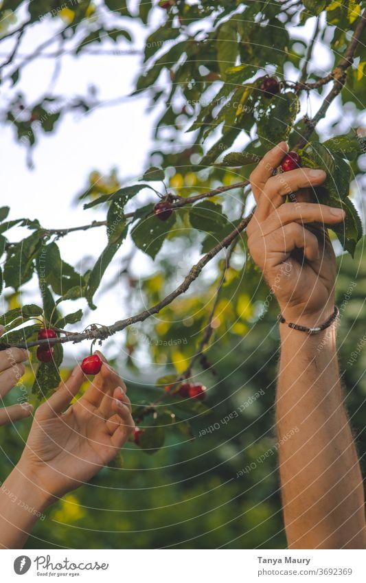 Kirschen im Sonnenlicht ernten Sommer rot Ernte Natur frisch Frucht Garten lecker saftig Außenaufnahme organisch reif Farbfoto Jahreszeiten grün Lebensmittel