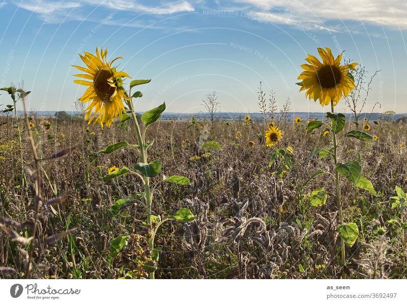 Sonnenblumen im Feld Sommer Herbst Radtour Wachstum wachsen blühen Blüte Natur Blume grün gelb natürlich Landschaft Sonnenlicht Außenaufnahme Himmel Pflanze