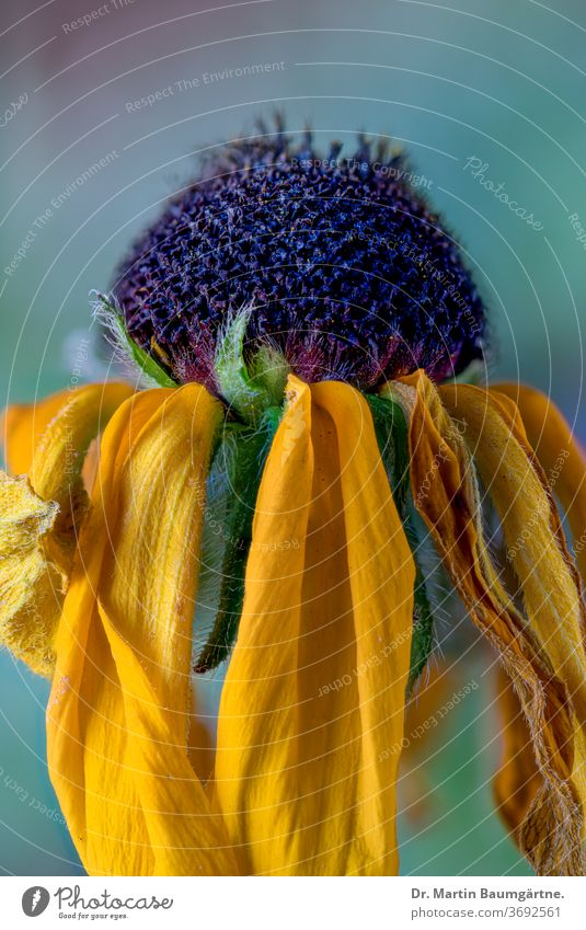 Welking Rudbeckia fulgens, Nahaufnahme Rudbeckia fulgida Willkommen welkend Sonnenhut schwarzäugig-susan Blume Garten Pflanze gelb Blütenkopf Asteraceae