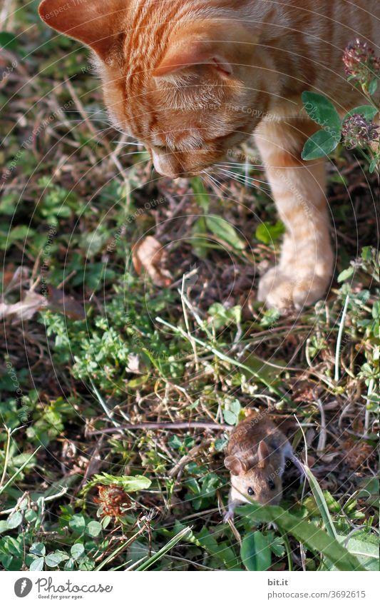 gegensätze l katz und maus Gegensatz Katze Kater Maus Katzenkopf Katz und Maus Tigerfellmuster Tigerkatze Haustier Tier Tierporträt Fell Hauskatze gefährlich