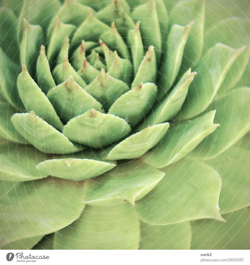 Symmetrische Sukkulente Pflanze Sukkulenten Farbfoto Nahaufnahme Detailaufnahme Menschenleer Topfpflanze natürlich bizarr stachelig Stachel Makroaufnahme