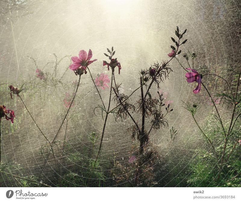 Abkühlung Garten Wasser Wassertropfen Dusche Pflanze feucht nass Regen gießen Frühling Nahaufnahme Lichterscheinung Wachstum geheimnisvoll Außenaufnahme