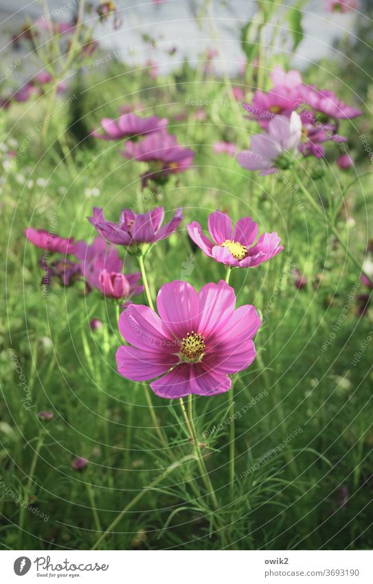Das Übliche Cosmea Blüten Menschenleer Sonnenlicht schön Lebensfreude Farbfoto Außenaufnahme Optimismus Wachstum Blühend Garten Umwelt Natur Pflanze