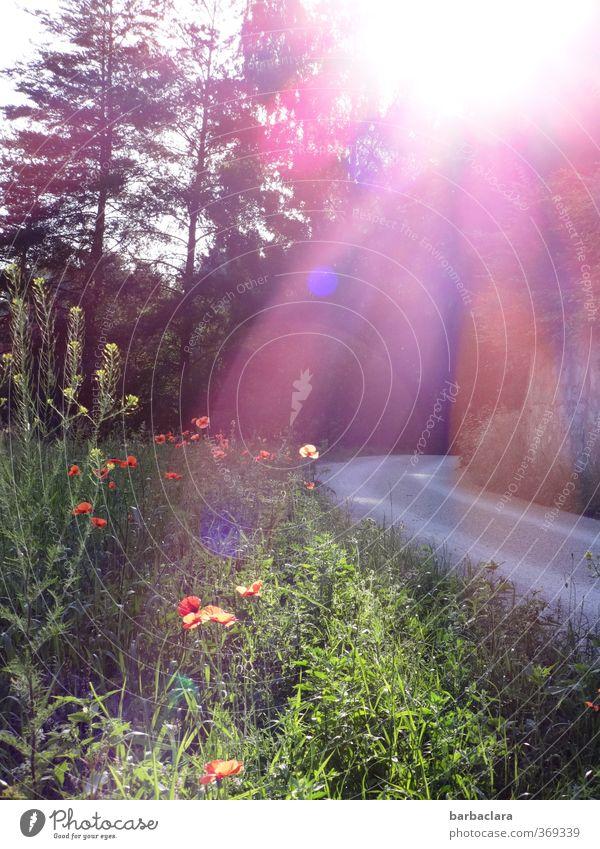 Rasen ist gefährlich | die Sonne blendet!! Umwelt Natur Landschaft Sommer Schönes Wetter Mohn Wiese Wald Straße Wege & Pfade Wegrand Blühend leuchten hell Wärme