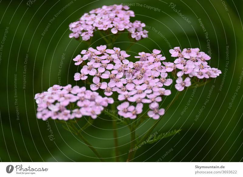 Schafgarbe in Pink ist Deine Farbe schafgarbe natur umwelt pflanzen blumen wildblumen heilkräuter kraut heilpflanzen
