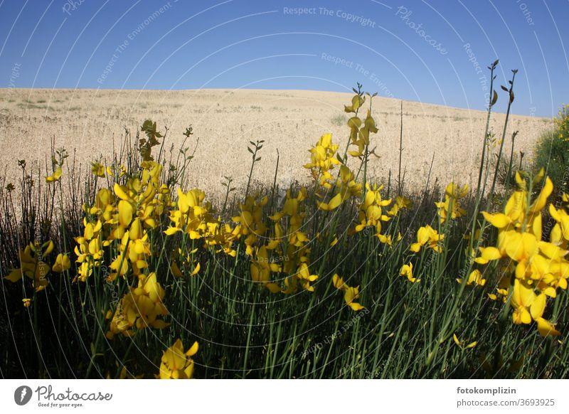gelbe Blumen mit hellem Getreidefeld und blauem Himmel im Hintergrund Feldblumen Feldrand getreidefeld Pflanze Blühend Blüte Wiese Blumenwiese natürlich Sommer