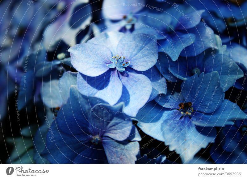 Nahaufnahme einer blauen Hortensienblüte Hydrangea Blüte Gartenpflanzen Blütenblatt Blühend Blume Makroaufnahme Detailaufnahme Pflanze Schwache Tiefenschärfe