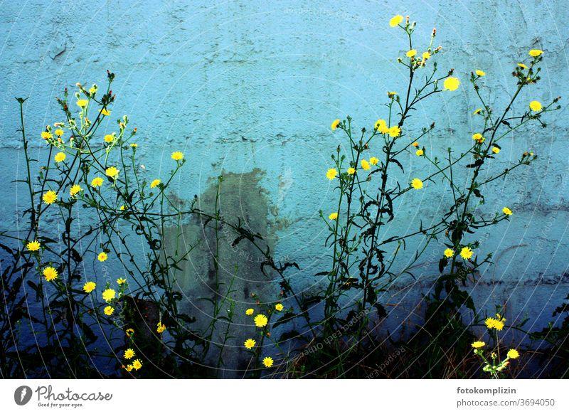 Pflanze mit kleinen leuchtend gelben Blüten vor blaugrün türkis gestrichener Mauerwand Blume Blühend Blumen Naturliebe Gartenpflanzen Sommerblumen Patina