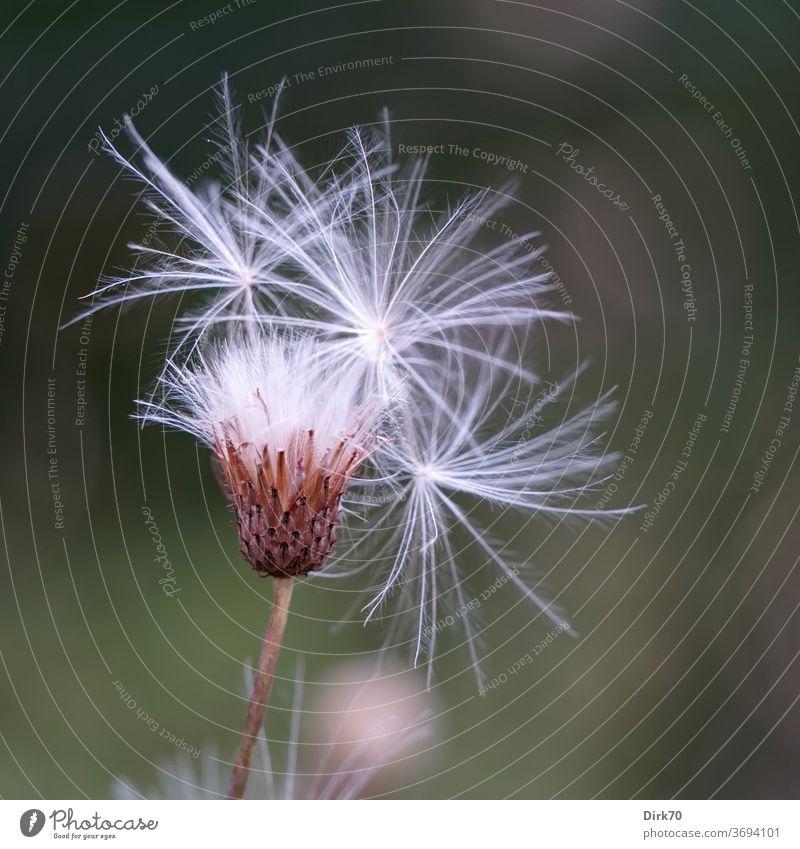 Pusteblume Blume Samen samenstand zart filigran Sommer Löwenzahn Wiese Weide Schwache Tiefenschärfe fliegen Pflanze Natur Makroaufnahme Nahaufnahme