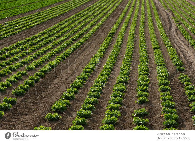 Acker mit langen Reihen von Schnittsalat Salat Lollo bionda Lollo bianco Lollo grün gerade Linien Ackerfurchen Anbau Ackerbau Feld Landwirtschaft Rosetten