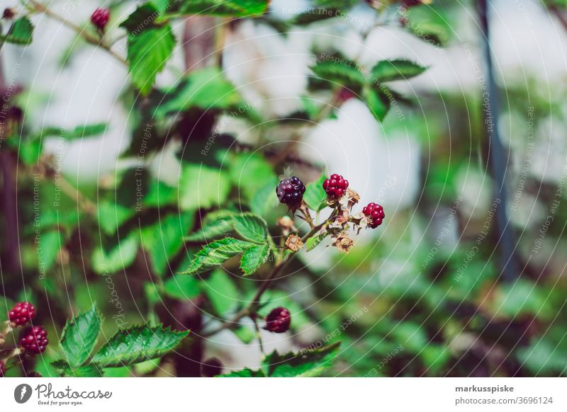 Frische Bio-Ernte Hausgarten Brombeeren Ackerbau Biografie Blütezeit züchten Zucht Kindheit Wintergarten kontrollierte Landwirtschaft Bodenbearbeitung