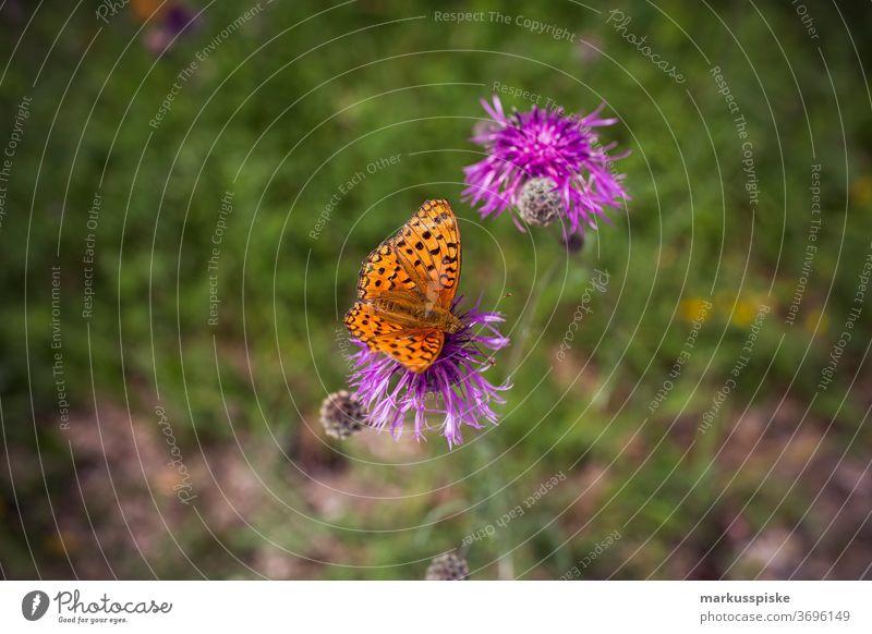 Schmetterling an lila Blume schön Schönheit Farbenpracht Blütezeit Bokeh hell braun Haufen Nahaufnahme farbenfroh Landschaft Phantasie Flora geblümt Blumen