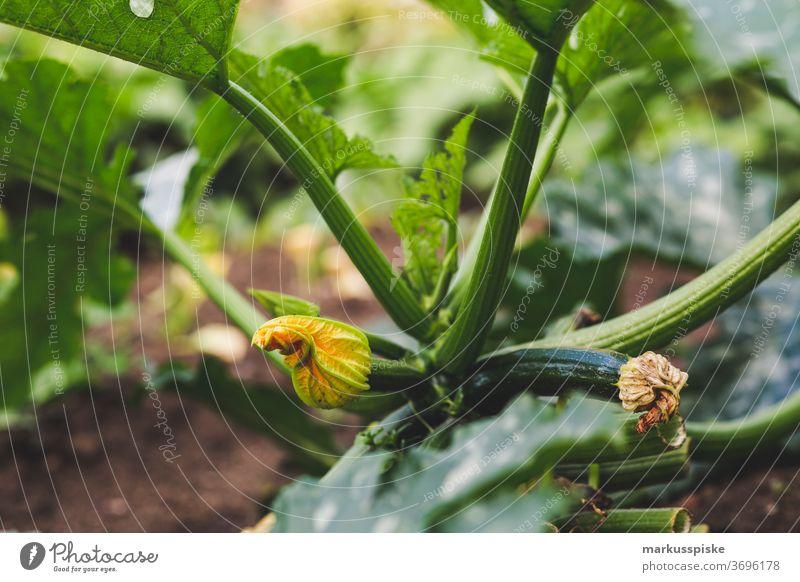Frische Bio Ernte Hausgarten Zucchini Ackerbau Biografie Blütezeit züchten Zucht Kindheit Wintergarten kontrollierte Landwirtschaft Bodenbearbeitung