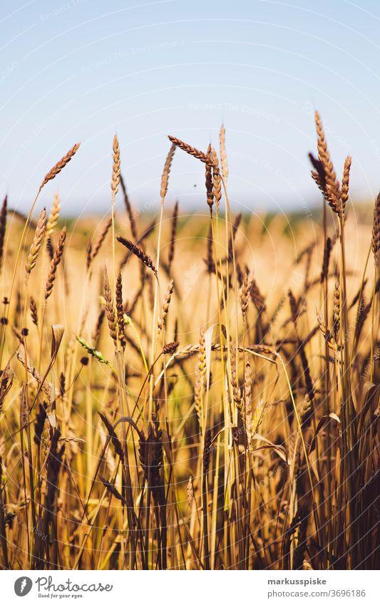 Bio gentechnikfreies Getreidefeld Ackerbau Biografie Blütezeit züchten Zucht Cash-Cropping Müsli Zerealien kontrollierte Landwirtschaft Mais Zucchini Ernte