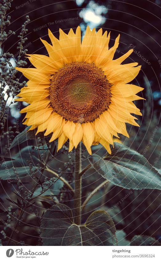 Sonnenblume frontal sonnenblume natur pflanze flora blüte blütenblätter rund gelb grün stimmngsvoll düster abend abendlicht dunkelgrün