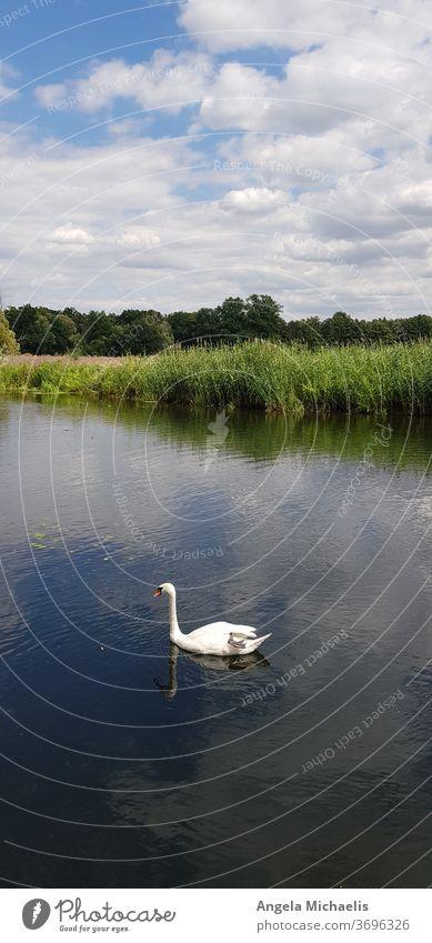 Schwan in ruhigem Gewässer Wassertier Wasservögel ruhige Atmosphäre See Fluss schwimmen baden Außenaufnahme Natur im Wasser treiben Reflexion Spiegelung