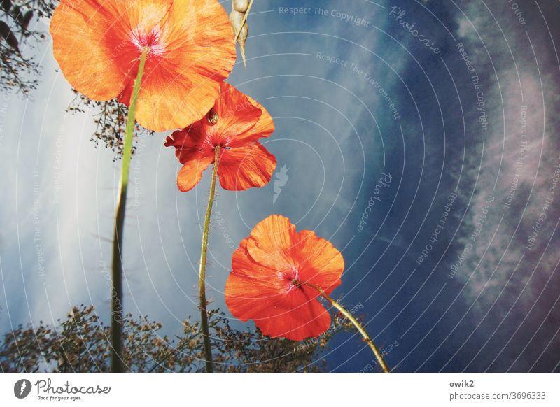 Mohn von unten Blüte Wiese Sommer Blühend Pflanze Blume Natur Textfreiraum oben Menschenleer Wachstum Farbfoto rot Umwelt Schwache Tiefenschärfe Außenaufnahme