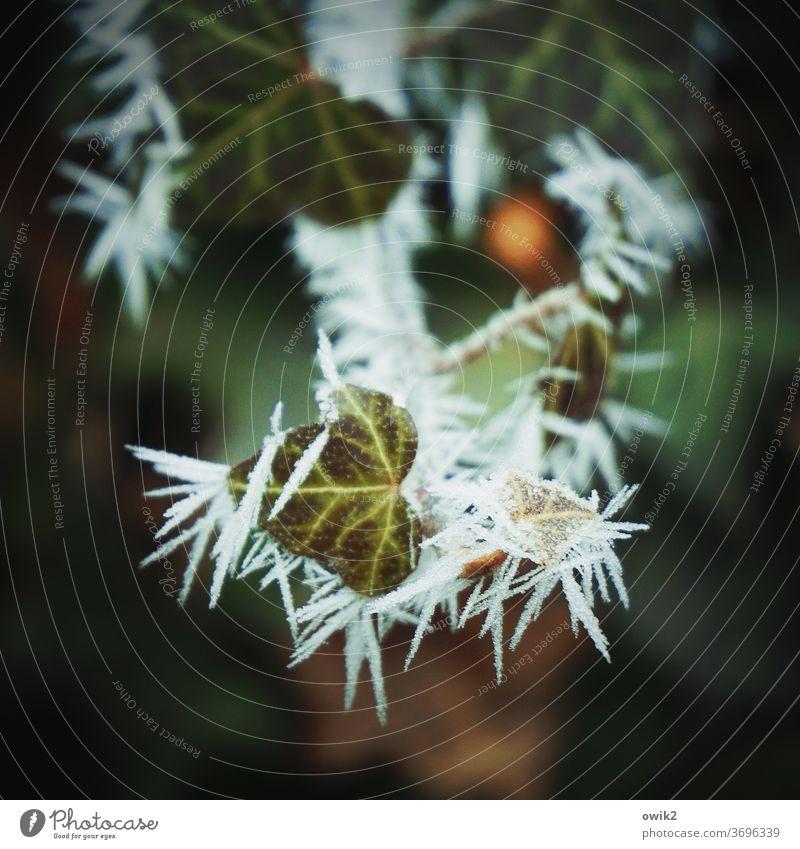 Eis im Efeu Sträucher Wildpflanze Ast Zweig Schatten zerbrechlich gefroren Gedeckte Farben stachelig Vergänglichkeit natürlich klein frisch frieren Blatt