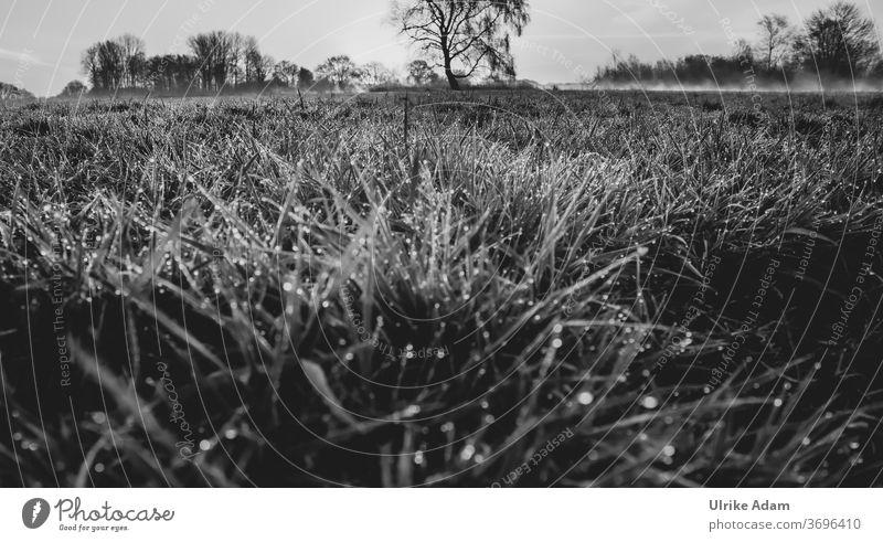 Morgentau im Teufelsmoor - Tautropfen im Gras mit Morgennebel im Hintergrund Schwarzweißfoto Natur Landschaft Wiese Umwelt Nebel Pflanze Menschenleer dunkel