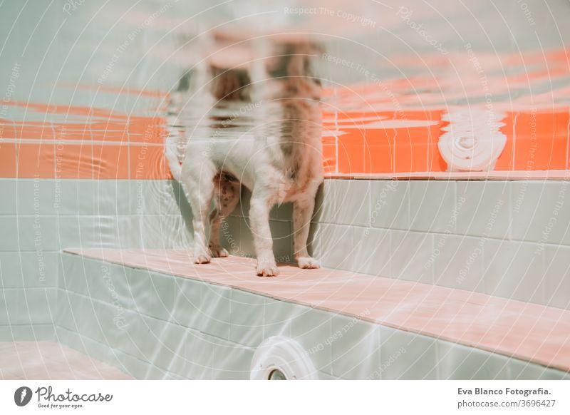 Unterwasseransicht eines Hundes im Pool, Spaß und Lifestyle im Sommer unter Wasser Schwimmsport Haustier jack russell Schwimmbad Fitness Familie tief Porträt