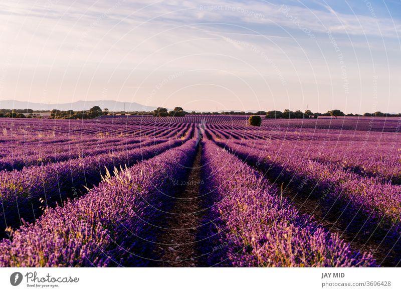 Wunderschönes Feld mit blühendem Lavendel bei Sonnenuntergang in Brihuega, Provinz Guadalajara, Spanien. Natur Blumen Überstrahlung Ackerbau purpur Sommer