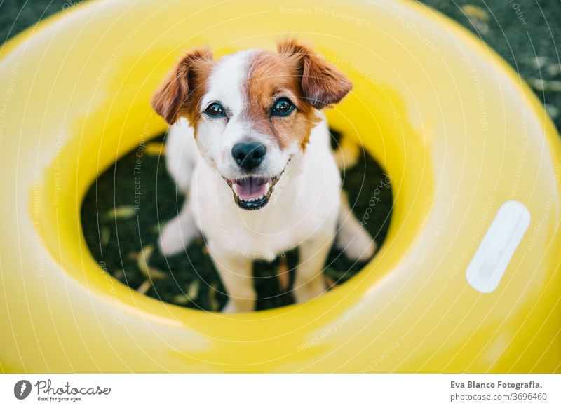 Porträt eines süßen Jack-Russell-Hundes, der im Freien lächelnd auf dem Rasen sitzt, Sommerzeit gelb Donuts Gras aufblasbar jack russell Lächeln Warten