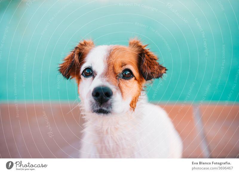 Porträt des süßen Jack-Russell-Hundes, der draußen am Pool lächelnd am Pool sitzt, Sommerzeit Schwimmbad jack russell niedlich Schwimmsport Haustier Fitness