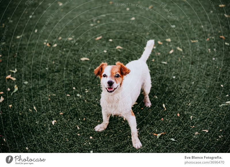 Porträt eines süßen Jack-Russell-Hundes, der im Freien lächelnd auf dem Rasen sitzt, Sommerzeit jack russell Lächeln Warten Reinrassig Sitzen klein Lifestyle