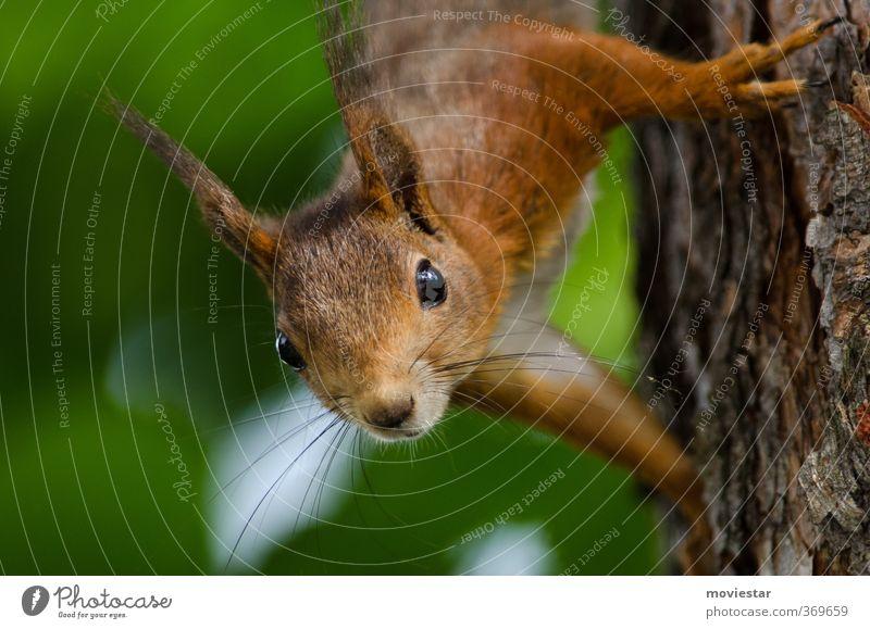 Eichhorn Tier Wildtier Fell Krallen eichhörnchen 1 hängen Neugier braun grün orange Natur Farbfoto Außenaufnahme Morgen Schwache Tiefenschärfe Porträt