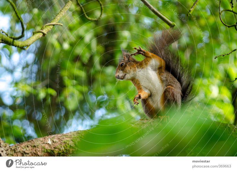 Eichhorn zeigt Vogel Natur grün Tier Bewegung lustig Freiheit natürlich braun Idylle Wildtier niedlich Coolness Fell Pfote kuschlig Eichhörnchen