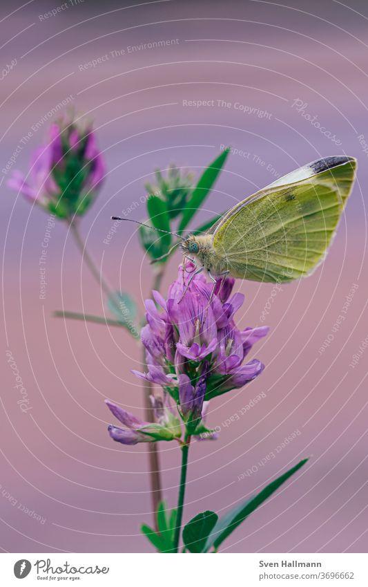 Schmeterling sitzt auf Blume Detailaufnahme Natur Außenaufnahme Sommer Frühling Tag Nahaufnahme Makroaufnahme klein Pflanze Garten Pastellton Insekt Blüte
