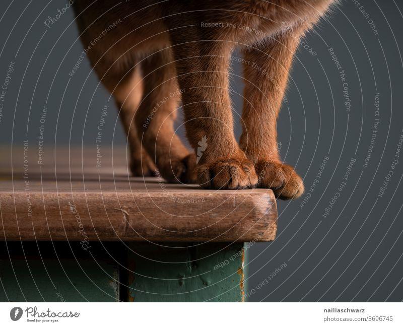 Samtpfoten Pfoten Katze Beine Fell rot braun Körperteile Tisch stehen stehend niedlich Hauskatze Tier Studiobeleuchtung Studioaufnahme rothaarig Abessinier