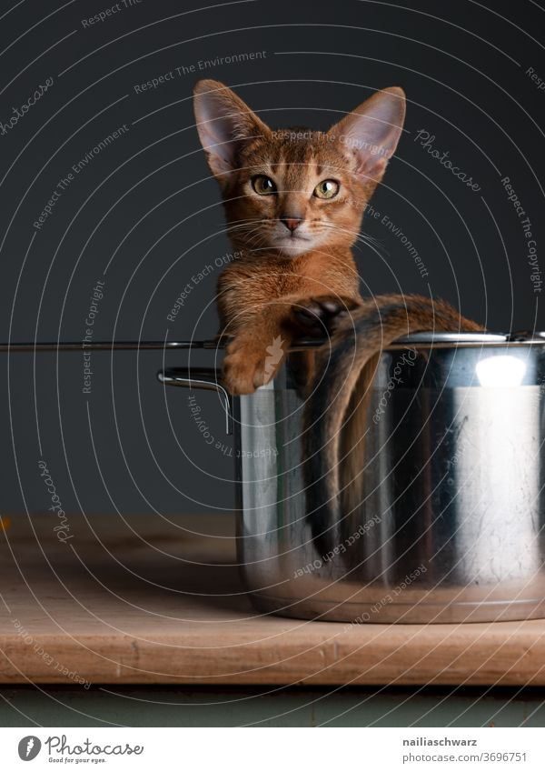 Lusia, beobachten Katze im Topf Katzenbaby Tierporträt lustig niedlich Niedlichkeit Geschirr Hauskatze Studioaufnahme Studiobeleuchtung rot rothaarig Abessinier