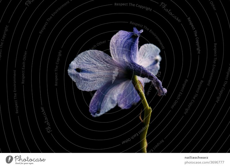Delphinium Blume Pflanze schwarz schwarzer hintergrund blau Natur Schnittblume Studioaufnahme Studiobeleuchtung studiolicht blaue Blumen Lifestyle