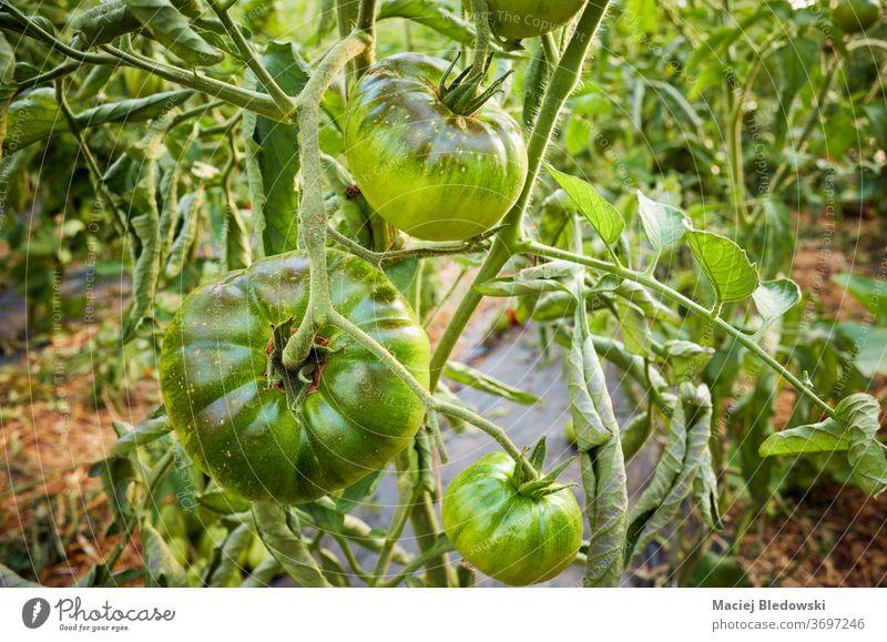 Reifung von grünen Bio-Tomaten im Gewächshaus. Gemüse Bauernhof reifen Ackerbau Lebensmittel organisch Gartenbau Sonne Wachstum frisch Natur Gesundheit