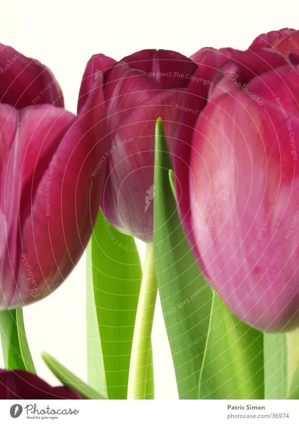 TuliPane Natur Blume grün rot Blatt Tulpe