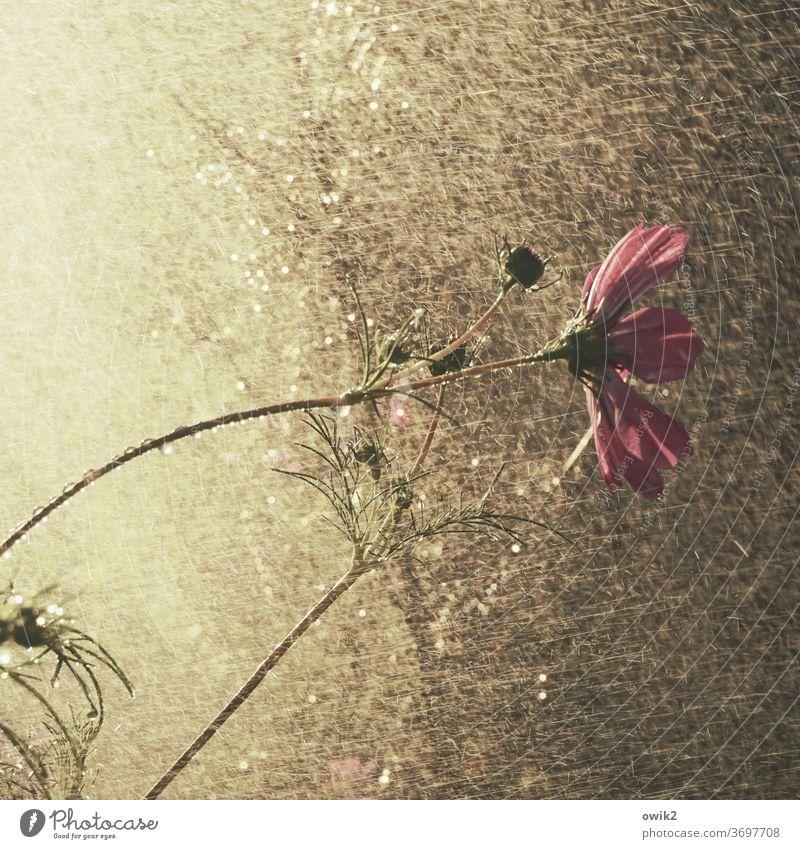 Blumendusche Cosmea Cosmeablüte schönes Wetter Blüte Schmuckkörbchen Wildpflanze geheimnisvoll Totale Detailaufnahme Leidenschaft Umwelt Schönes Wetter Sommer