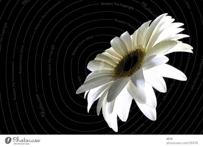 weiße Gerbera Blume Pflanze weiße Blüte Natur