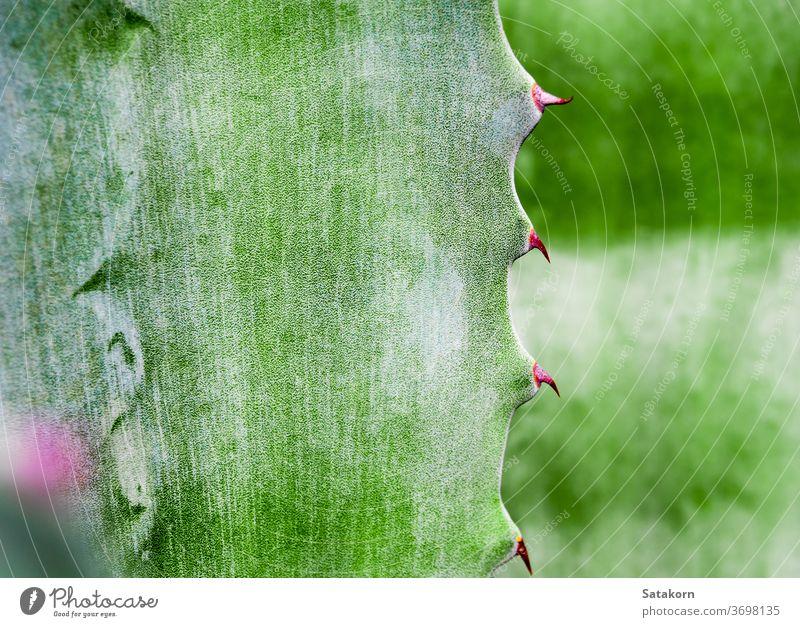 Sukkulente Pflanze Nahaufnahme, Dorn und Detail an Blättern der Agavenpflanze Stachel Blatt grün weiß Wachs Kreide schön Natur Textur Oberfläche natürlich