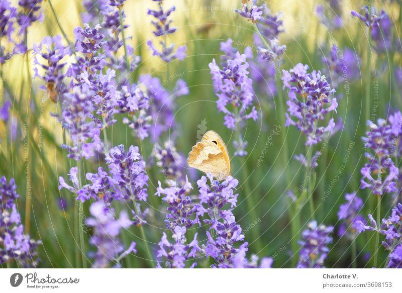 Stippvisite | Schmetterling auf Lavendel Lavendelblüten Falter grün gelb orange violett lila Lila Blume Sommer sommerlich zart leicht Leichtigkeit schön Blüten