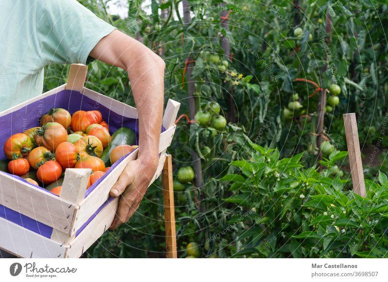 Mann mit Tomatenkiste im Garten. Gemüse Ackerbau Person Kasten Lebensmittel Gartenarbeit Bauernhof organisch Landwirt Ernte Ernten grün Natur rot Landwirtschaft